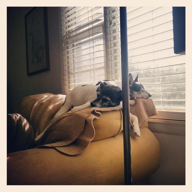 Rat Terriers in the sun.
