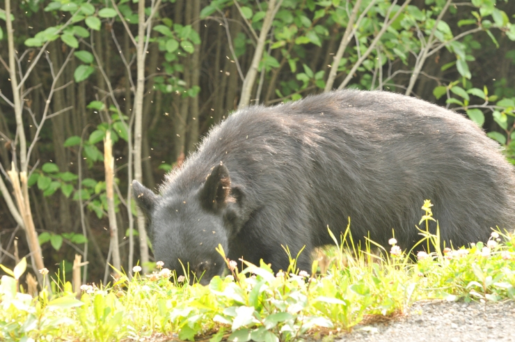 A bear lunching on berries while the skeeters lunch on him.