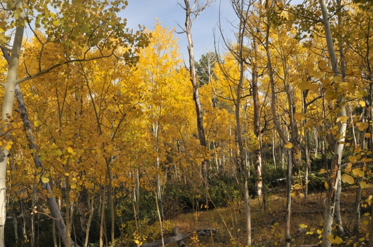 Wet Mountain aspens