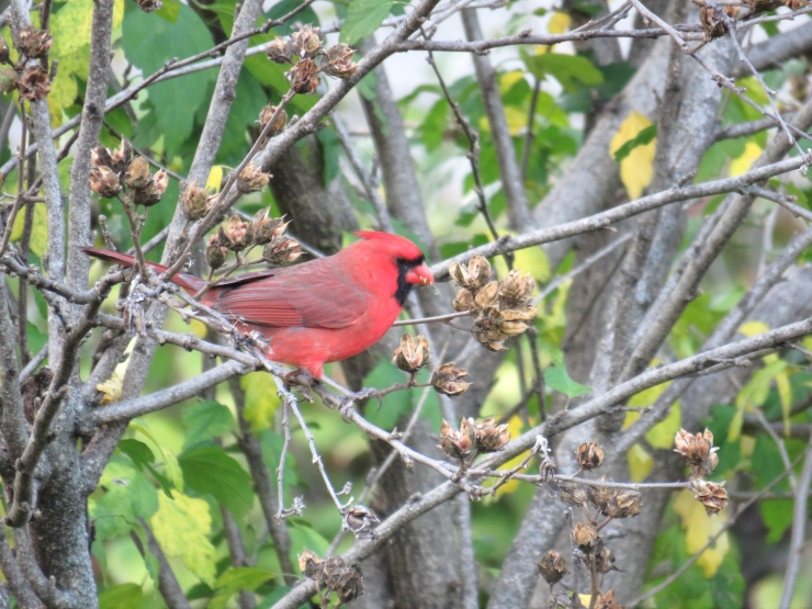 Cardinal in shrubbery