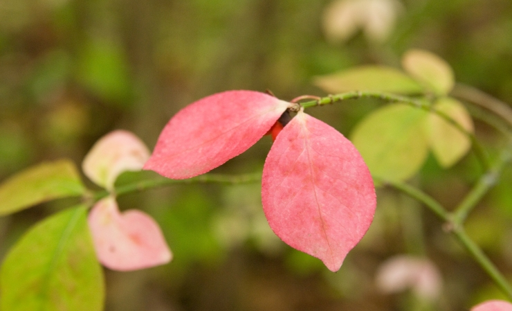 Pink Leaves at Sequiota Park